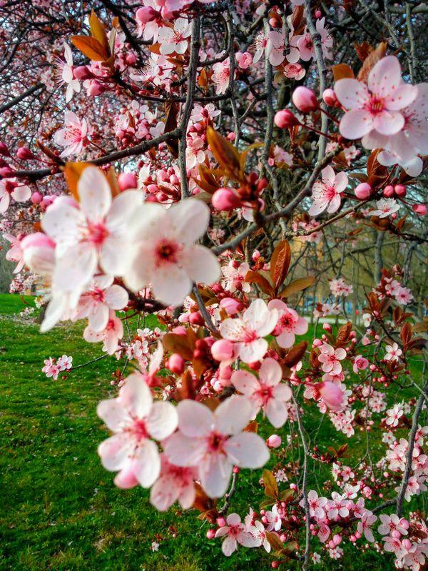 Almond bloom thumbnail