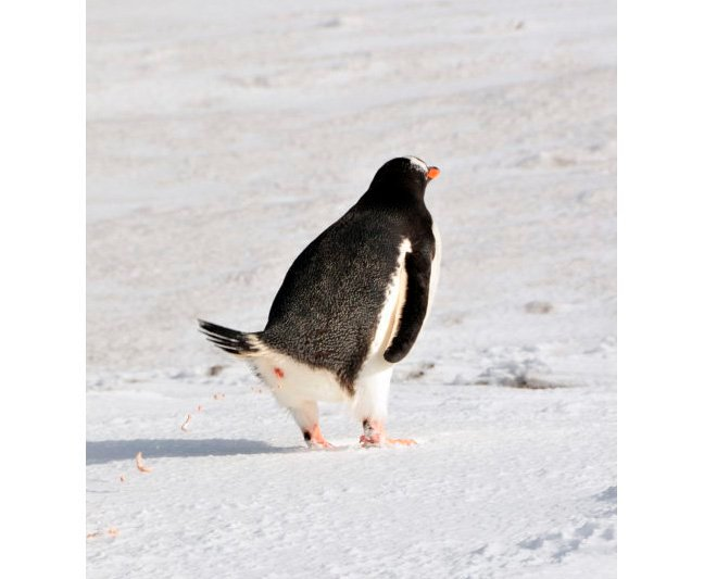 A Penguin Colony's Rise and Fall, Recorded in Poop