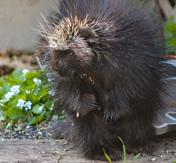 The North American porcupine. thumbnail