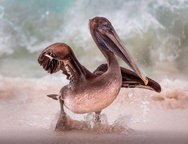 Pelican, Galapagos thumbnail