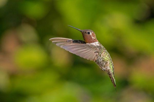 Anna's Hummingbird in flight thumbnail
