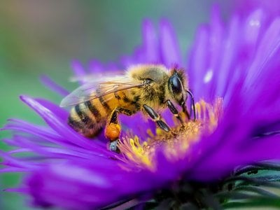 Bee species are more diverse in dry regions where pollen is abundant.