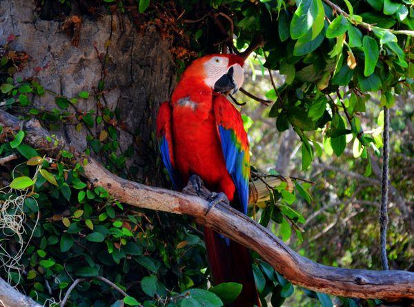 Posing Macaw thumbnail
