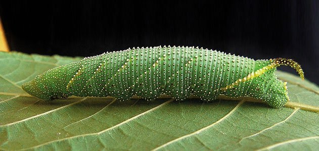 Shrieking caterpillar