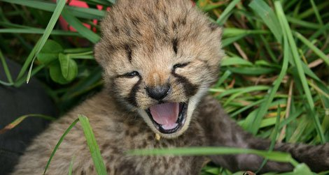 Cheetah cub at the Smithsonian Conservation Biology Institute