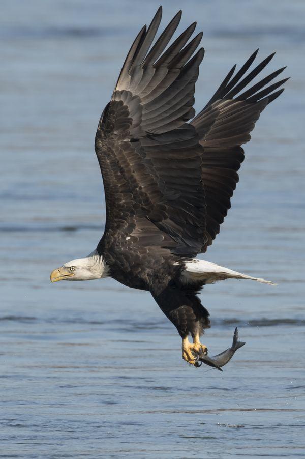 Bald eagle fishing thumbnail