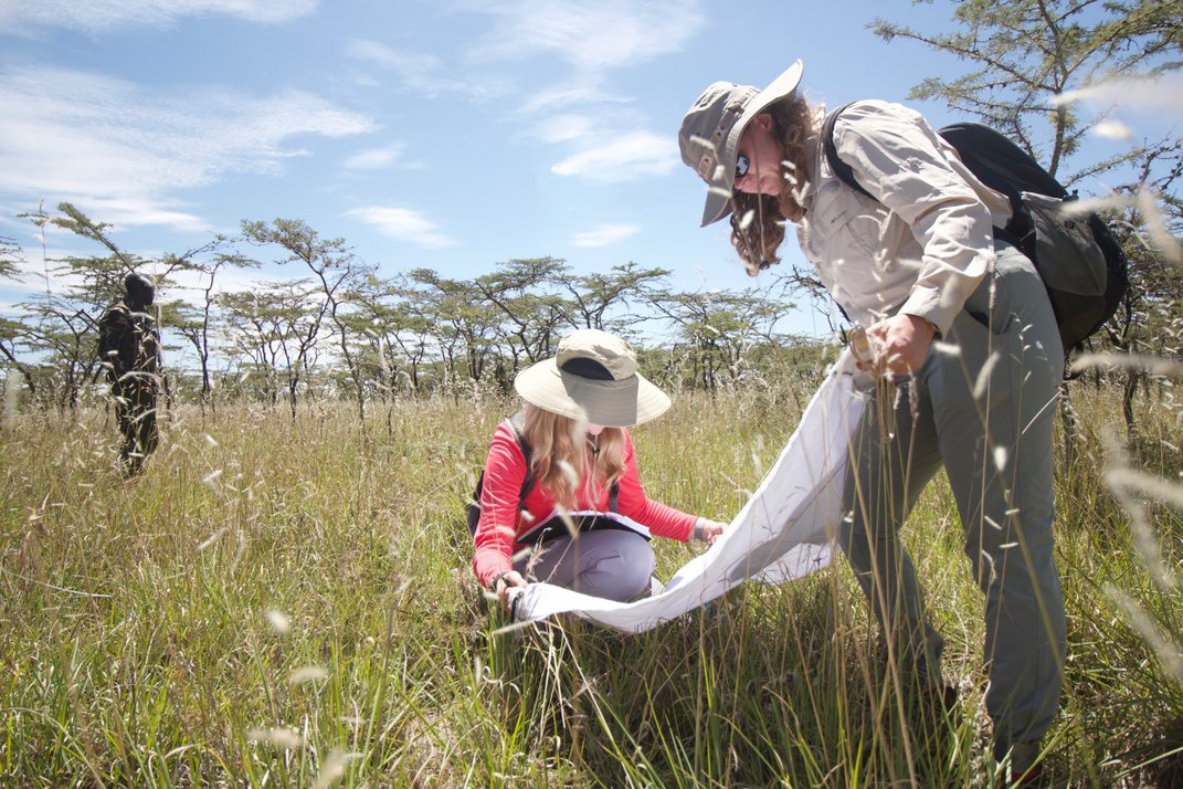 Two researchers examine a net for arthropods in a grassy savannah, another person stands nearby