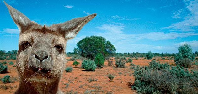 Koalas, kangaroos and wallabies are abundant on the island