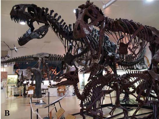 20110520083118dinosaur-skeletons-models.jpg