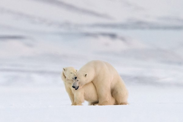 Mating Polar Bears thumbnail