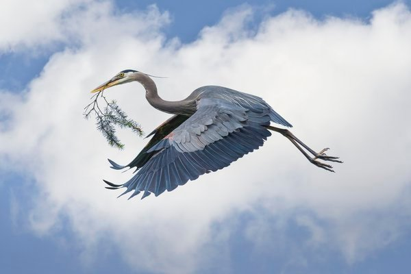 Great Blue Heron carrying Twig thumbnail
