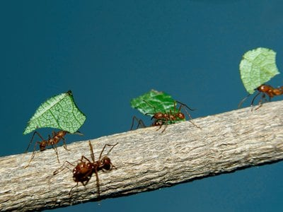 Ingenious leafcutter ants have developed a successful symbiotic relationship with the fungi they farm. New genetic analysis helps pinpoint when, and why.