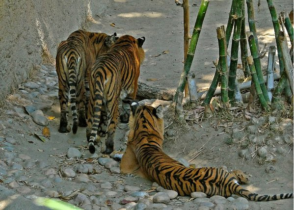 Three tigers showing off the artistic talents of Mother Nature thumbnail