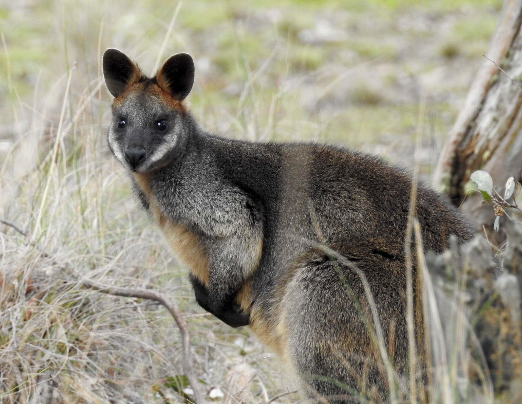 Swamp Wallabies Can Get Pregnant While Pregnant