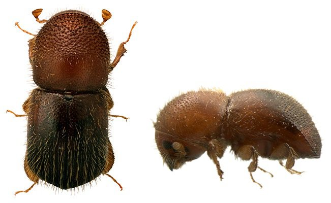 An insect photographed from above and the side.