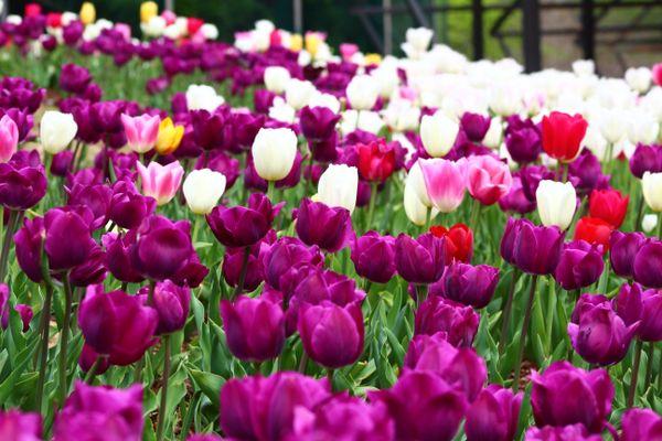 Tulip Fields thumbnail