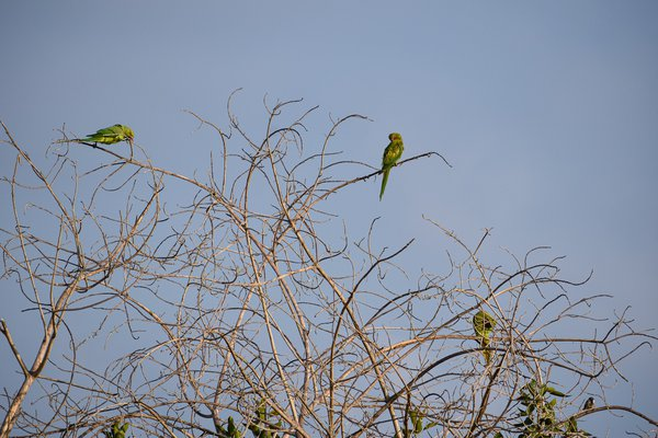 Parrots settling down for the night thumbnail