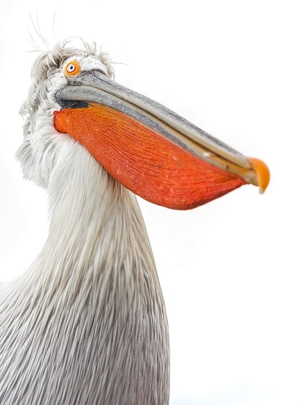 A close up of a dalmatian pelican with its bright orange lower mandible.