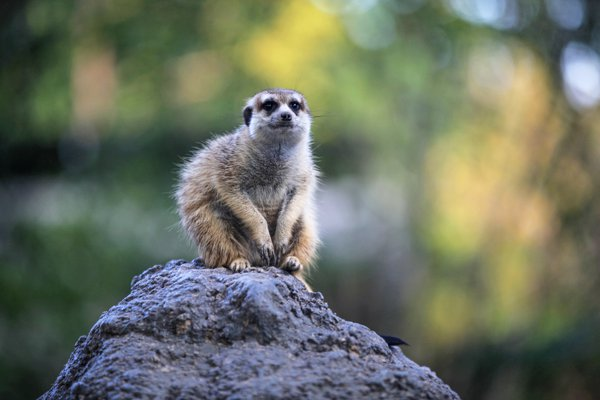Lonely Mongoose thumbnail