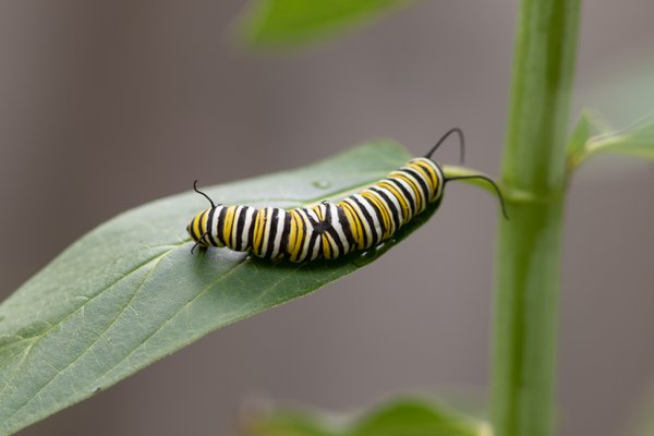 An (Ex)traordinary marking on a common monarch caterpillar thumbnail