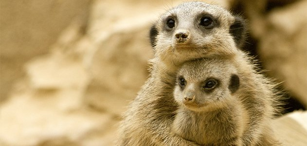 """""""Please don't hurt my baby!"""" this mother meerkat may say to her murderous female superiors."""