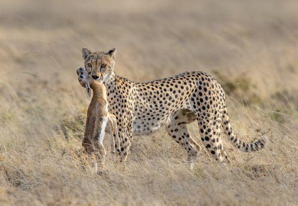 Cheetah with prey thumbnail