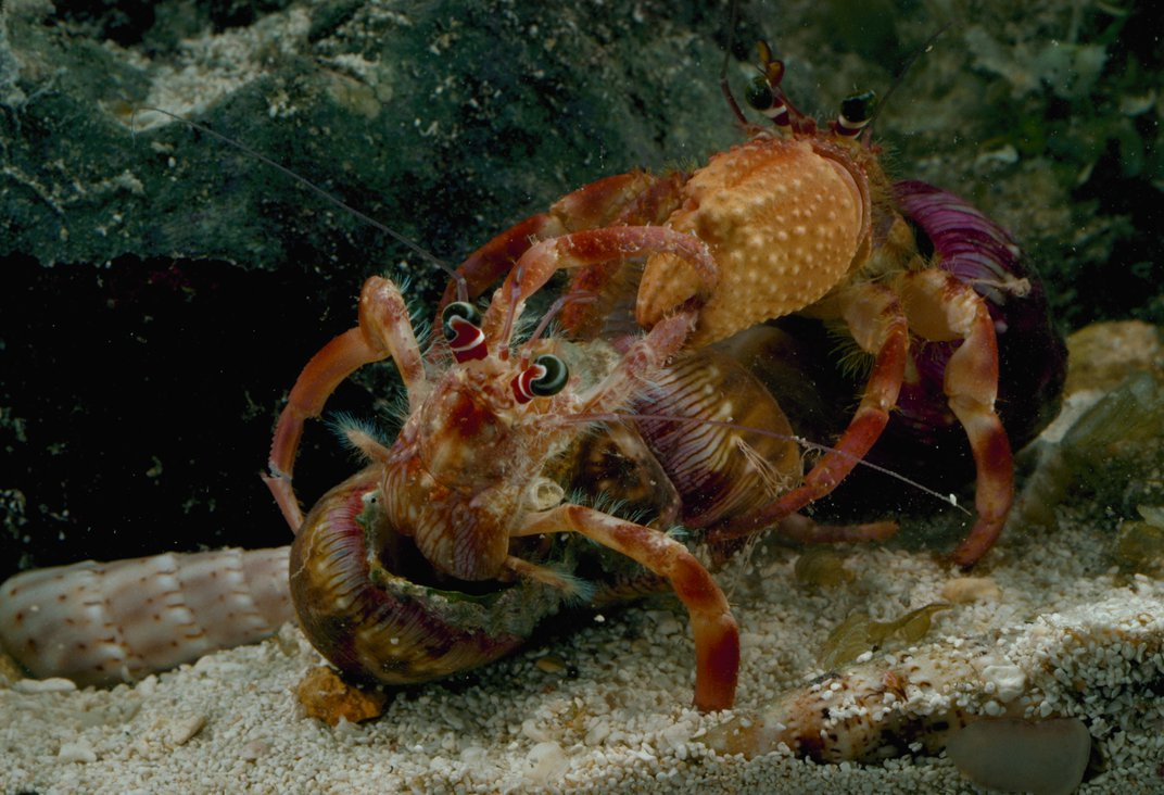 Hermit crabs battle it out for coveted shells, which may leave the loser mortally wounded. Photo: Jonathan Blair/Corbis