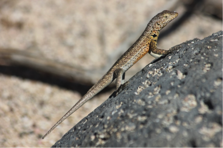 A linear Lava Lizard attempts to heat himself up as much as possible.