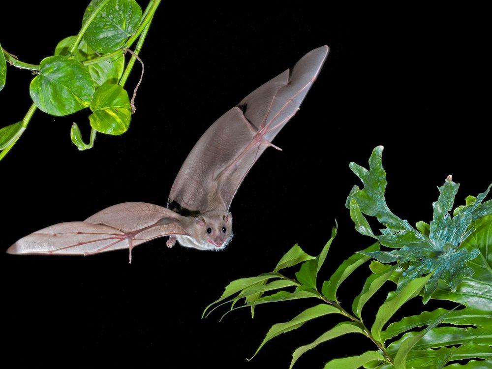 Egyptian fruit bat