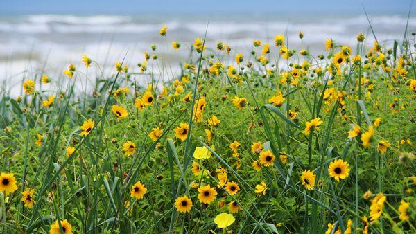 Dune Wildflowers thumbnail