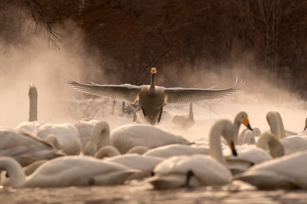 A Whopper Swan is landing in a cold morning on Lake Kussharo in Hokkaido, Japan. the warm thermal springs keep the edges of the lake free from ice and the swans take advantage of that.