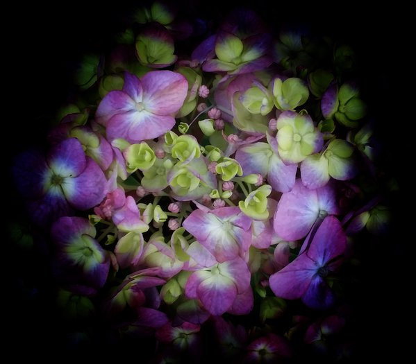 Hydrangea multiphase dream thumbnail