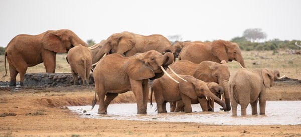 The Red Elephants of Tsavo thumbnail