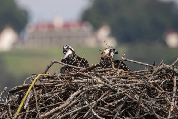 Osprey Twins with Mount Vernon-Accokeek, MD thumbnail