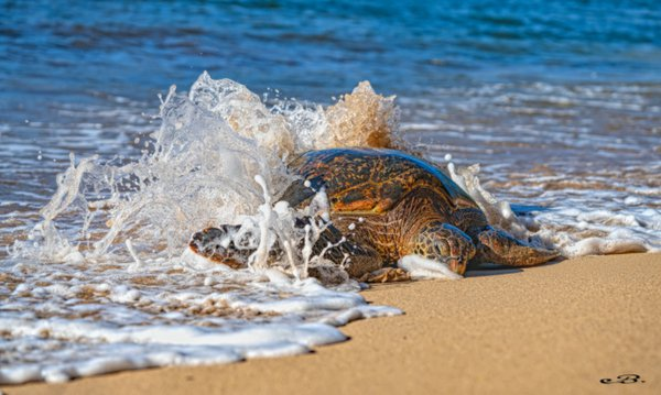 Honu in the surf thumbnail