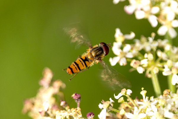 A hoverfly thumbnail
