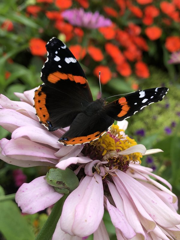 Delight and Surprise: A Red Admiral butterfly and a green tree frog visit my pink zinnia. thumbnail