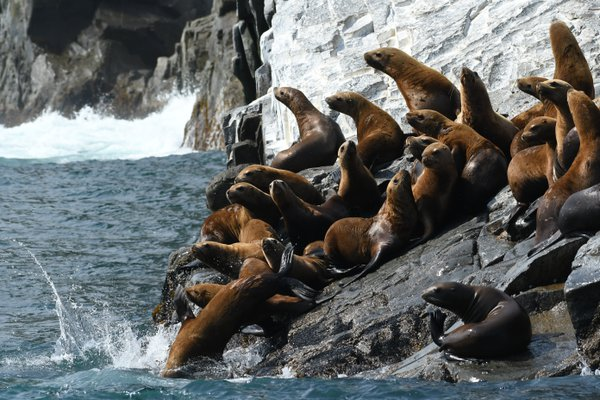 Sea Lions in Kamchatka thumbnail