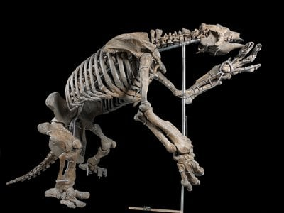 The fossil Eremotherium was from south Georgia. And it was an important one, since it firmly establish the presence of the giant ground sloth, which had previously been unknown in the United States.