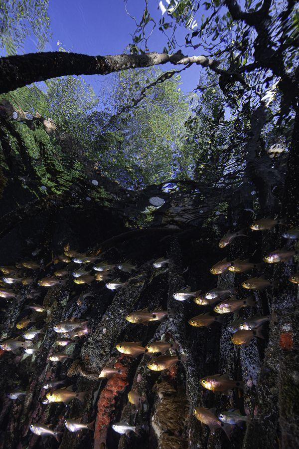 Juvenile fish in a mangrove thumbnail