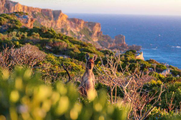 Summer Solstice Kangaroo thumbnail