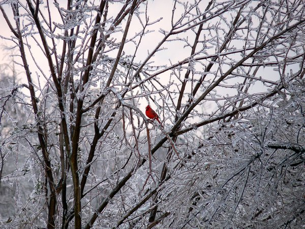 Cardinal in trees after ice storm thumbnail