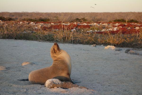 Galapagos Sea Lion thumbnail