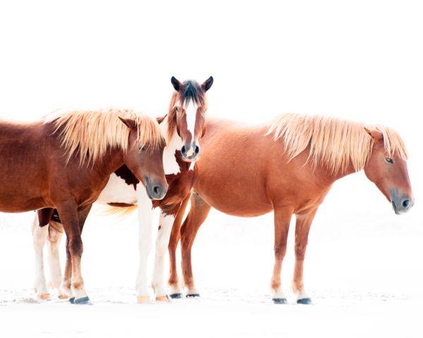 The Wild Horses of Assateague Island thumbnail