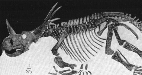 Styracosaurus at the American Museum of Natural History