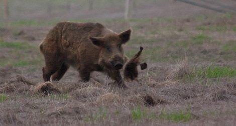 20110926102006wild-boar.jpgA wild boar doing some damage
