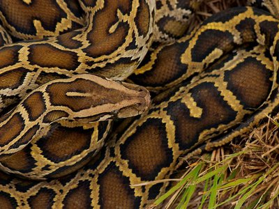Scientists estimate that the snakes are responsible for decimating 90 to 99 percent of the small mammal population, and they're also known to strangle deer, alligators and birds.