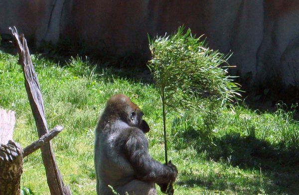Gorilla Shade thumbnail