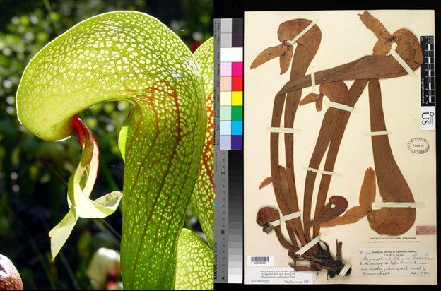 Green and red living cobra lily next to a brown dried cobra lily on cream colored paper from the National Museum of Natural History's collection for comparison.