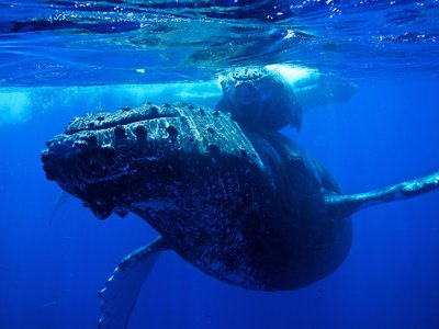 A humpback whale and calf